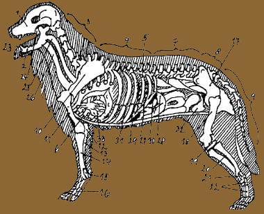 Leonberger body and skeleton